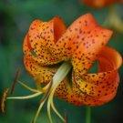 Turk's-Cap Lily VERY TALL Lilium superbum SEEDS