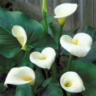 STUNNING and ELEGANTCalla Lily Zantedeschia SEEDS