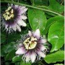 VIGOROUS VINE Passiflora Edulis Flavicarpa SEEDS