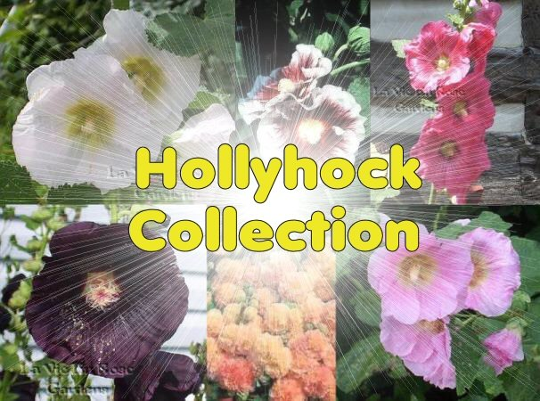 SAVE over 40% COLLECTION of 6 HOLLYHOCK Seeds varieties