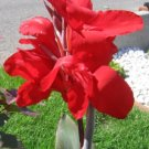 INDIAN SHOT Canna Lily Gorgeous In Garden ANNUAL SEEDS