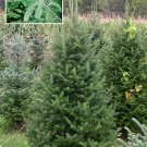 BALSAM FIR Tree SEEDS Excellent for Landscaping!