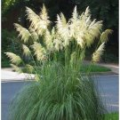 Pampas Plume WHITE (Cortaderia selloana) Seeds