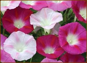 NEW Vine Seeds! Morning Glory LA VIE EN ROSE Annual