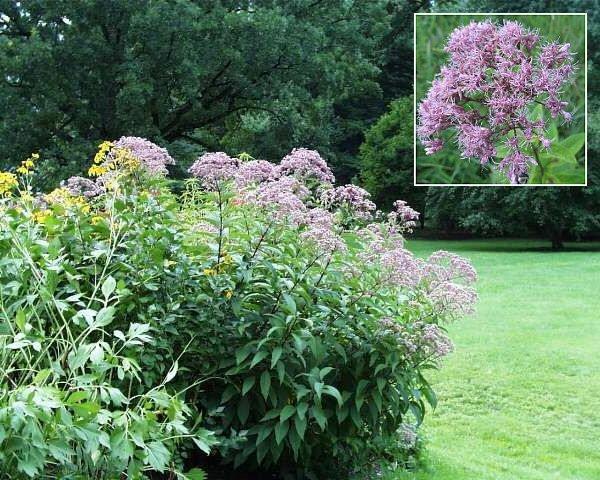 Heritage JOE PYE WEED Seeds BUTTERFLY FAVOURITE
