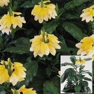 Crossandra 'Tropic Yellow Splash' ANNUAL Seeds