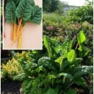 Swish Chard 'Eldorado' (Beta vulgaris L.) Seeds
