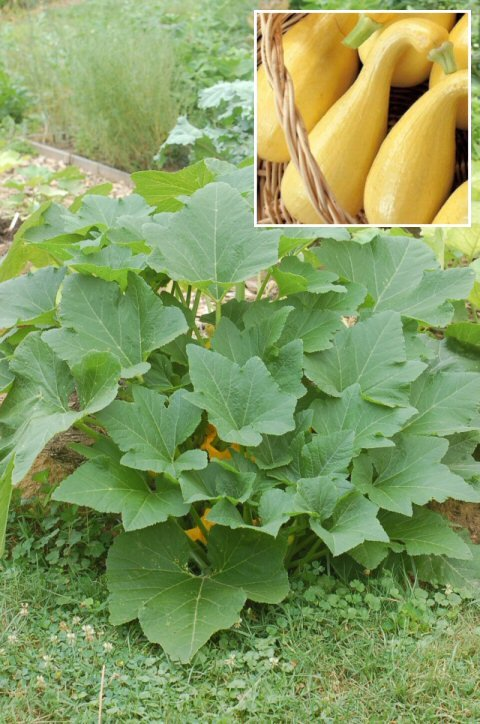 Summer Squash 'Early Golden Crookneck' SEEDS