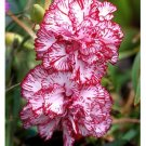 Carnation 'Picotee Fantasy' (Dianthus Caryophyllus)SEED