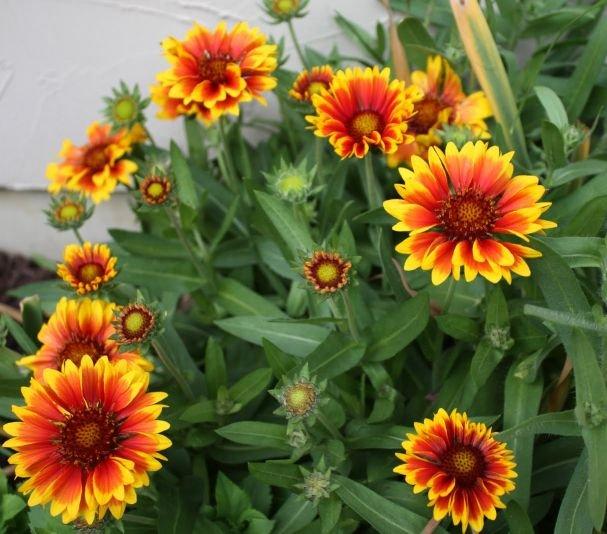 Gaillardia 'Arizona Sun' (Gaillardia) Seeds