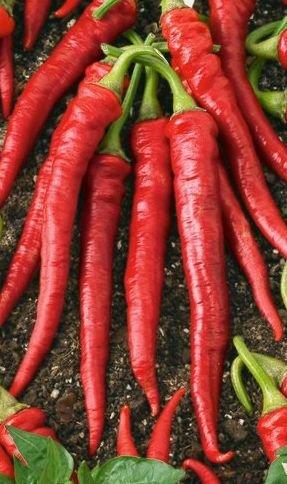 Hot Thai Peppers 'Flame Hybrid' (Capsicum annum) Seeds