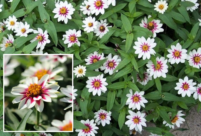 Zinnia 'Zahara Starlight Rose' (Z. Marylandica) Seeds