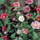Hollyhock Alcea rosea - HISTORIC Single Mixed SEEDS