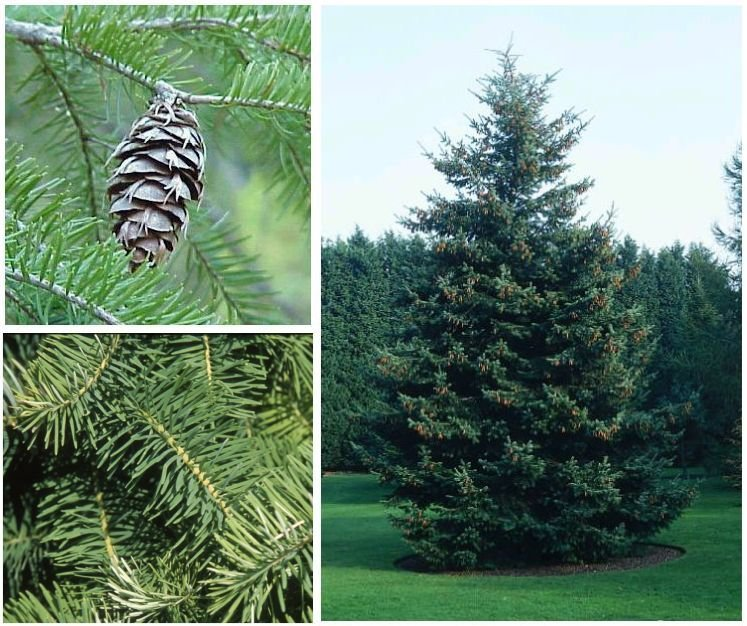 DOUGLAS FIR Great for LANDSCAPE Tree Seeds