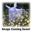 VERBASCUM phoeniceum MULLEIN 'Rosetta' Perennial SEEDS