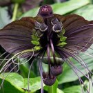 Tacca Integrifolia Seeds | Black White Giant Bat blossoms Batplant Flower - 50 Seeds