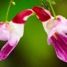 Thai Parrot Orchid Flower 20 Seeds World Rare Garden Home Semillas Loro Flores Impatiens Psittacina