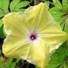 50 Japanese Yellow Morning Glory Merremia Garden Climbing Flower Rare Seeds