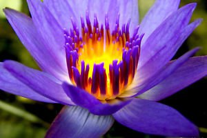 30 Purple Fire Lotus Water Lily Flower Seeds Hydroponic Plant Garden Decor DIY