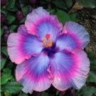 100 Giant Hibiscus Exotic Rare Coral Flower Seed Mix Colors Gardening Mix