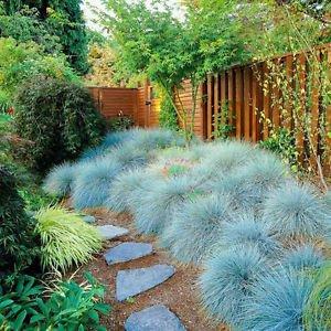 50 Blue Fescue Grass Seeds Glauca Evergreen Perennial Ornamental Showy Lawn DIY