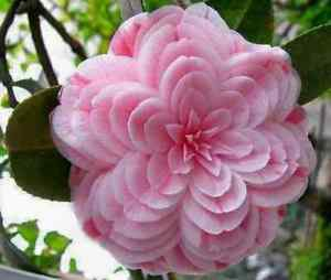 50 Camellia Flower Seeds Perennial Gorgeous Beautiful Home Gardening Decor Plant