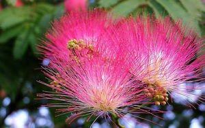 20 Albizia Mimosa Silk Flower Seeds Pot Gardening Decor House Plants Rare Bonsai