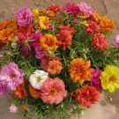 500 Mix Colorful Moss Sun Rose Seed Eleven O'Clock Flower Home Gardening Plant