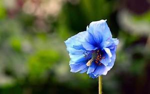 200 Rare Himalayan Blue Poppy Seeds Giganteum Papaver Somniferum Flower Garden