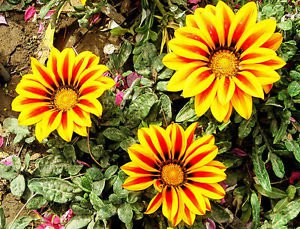 50 Gazania Rigens Sunflower Seed Flower Potted Heirloom Penerial Home Gardening