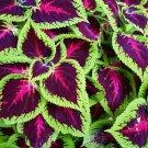 100 Rainbow Mix Coleus Seed Blumei Flower Grass Home Garden Balcony Design Plant