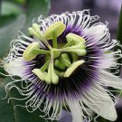 40x Tropical Passion Fruit Seeds Purple Flower Passiflora Edulis Exotic Garden
