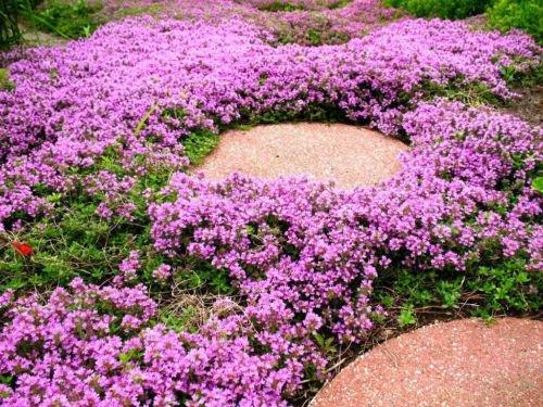100x Creeping Thyme Seeds - Magic Carpet - Flowering Garden Decor Ground Border