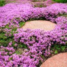 100x Creeping Thyme Seeds - Magic Carpet - Flowering Garden Decor Ground Border
