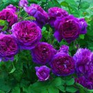 100x Heirloom Climbing Rose Seeds Climber Flower Purple Perennials Garden Decor