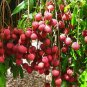10 Organic Sweet Lychee Juicy Tropical Fruit Seeds, Leechee Fruit Tree Garden