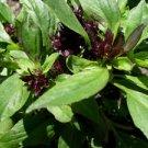 200x Organic Thai Purple Green Basil Herb Seeds Strong Flavor Asian Hung Que