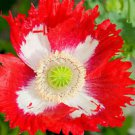 100x Rare Exotic Poppy Danish Flag Flower Seeds  Papaver Somniferum Home Garden