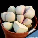 20 Lapidaria Margaretae Seeds Rare Exotic Cactus Living Stones Succulent Plant