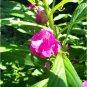 50 Garden Balsam Colorful Balsamina Impatiens Flower Seeds | Annual Multicolor