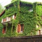 100 True Green Boston Ivy Seeds Outdoor Creepers Vine Climbing Tree Plant Garden