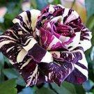 50x Black Dragon Rose Flower Seeds, Beautiful Stripe Rose Bush Plant, DIY Home
