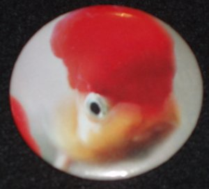 Fancy Goldfish photo on a badge, pin F 0002