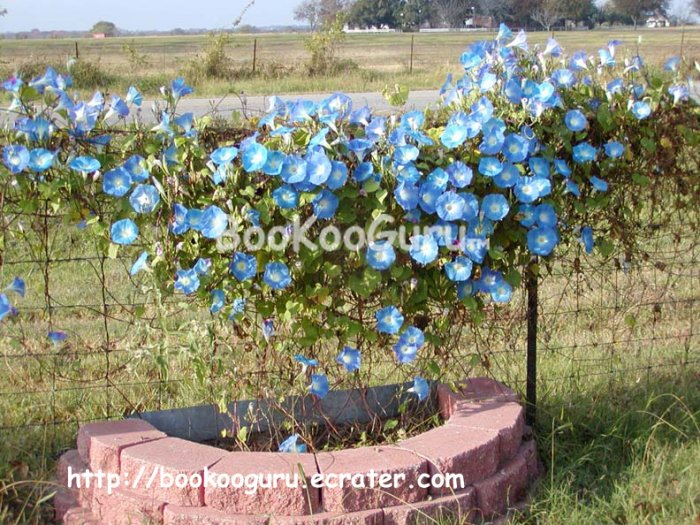 Morning Glory Seeds, Flower Seeds, Morning Glory Flower Seed, Plant Seed, BooKooGuru