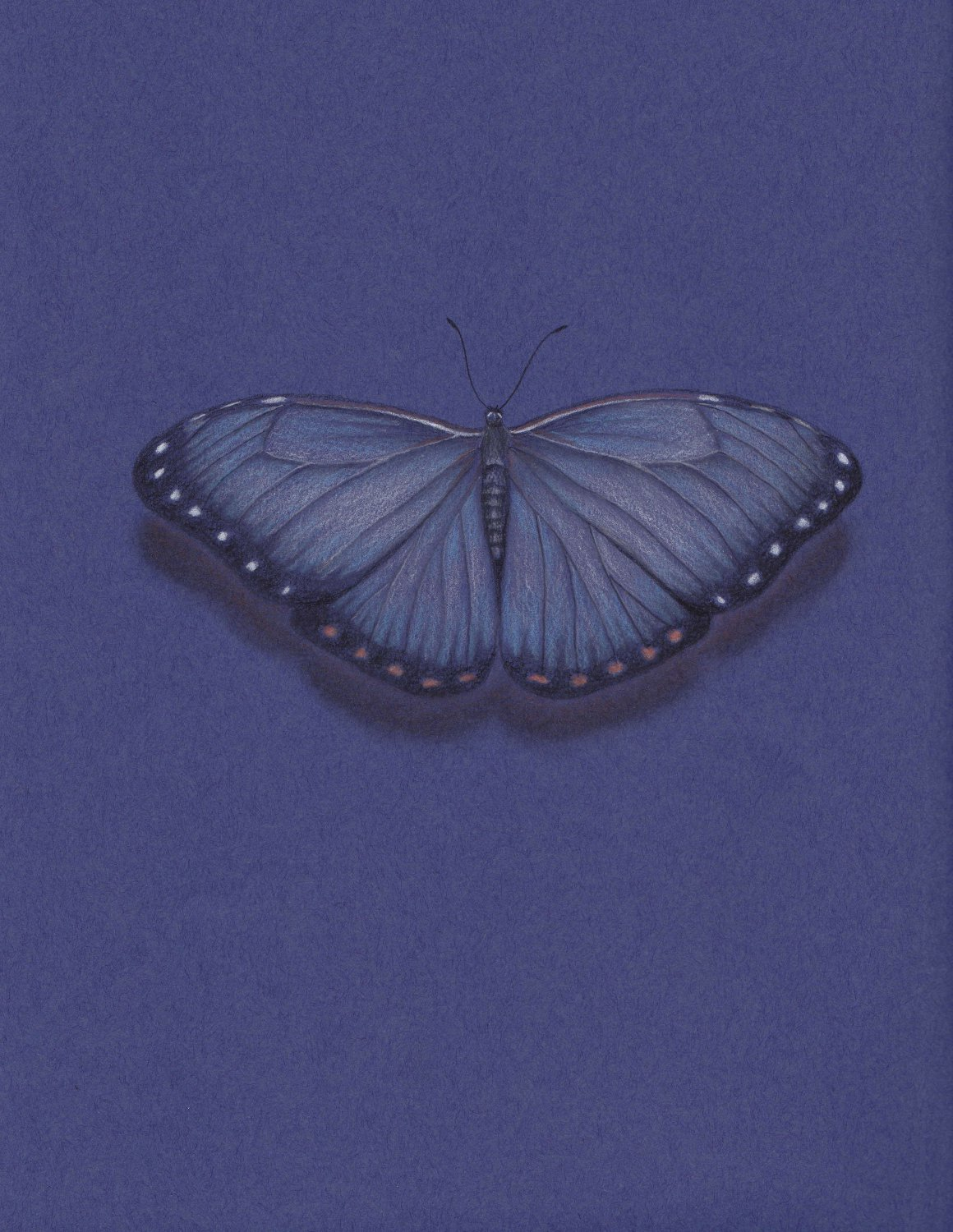 Dark Blue Butterfly Wing Span Pencil Drawing Gicleé Fine Art Print