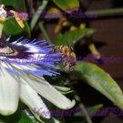 Passiflora & Bee #1