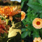 Triangle Flashback Calendula 10 seeds