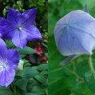 HEIRLOOM NON GMO Blue Balloon Flower 25 seeds