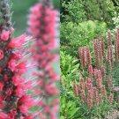 HEIRLOOM NON GMO Pink Viper's Buglosss (Echium Russicum) 10 seeds