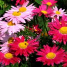 HEIRLOOM NON GMO Red & Pink Chrysanthemum Mix 25 seeds